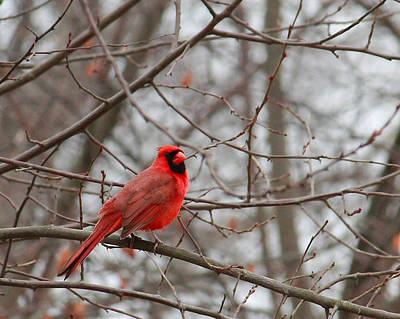 Photograph - Cardinal In The Winter by Angela Murdock