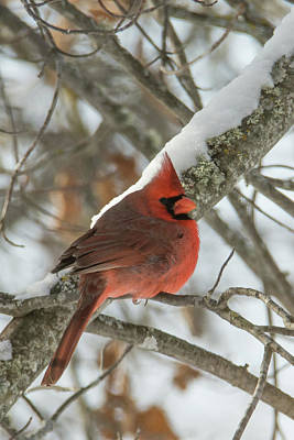 Photograph - Cardinal In Winter by Bear Paw Resort Photography