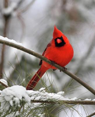 Bird Photograph - Cardinal In Winter by Gary Michael Flanagan