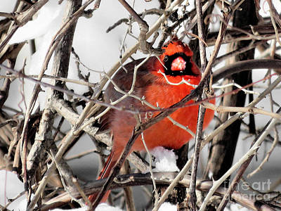 Photograph - Cardinal  by Janice Drew
