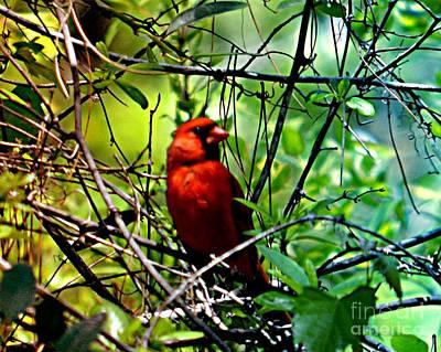 Photograph - Cardinal  by Janice Spivey