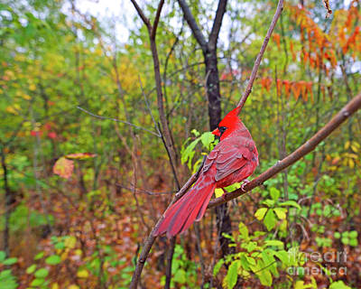 Photograph - Cardinal by Joshua McCullough