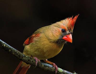 Photograph - Cardinal by Lena Auxier