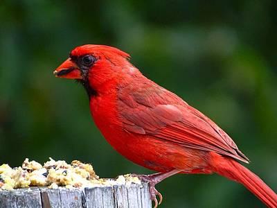 Photograph - Cardinal by Lilia D
