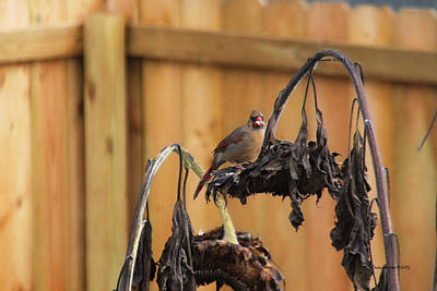 Manipulation Photograph - Cardinal Lunch 2097 by EricaMaxine  Price