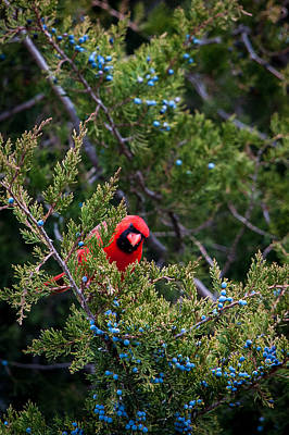 Photograph - Cardinal Lunch by Jeff Phillippi