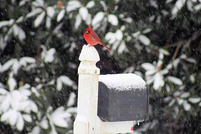 Photograph - Cardinal Mail by Paulette Maffucci