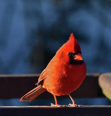 Photograph - Cardinal, Male by David Halperin