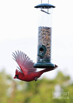 Photograph - Cardinal Motion by Carol Groenen