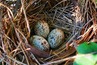 Photograph - Cardinal Nest by Kathryn Meyer