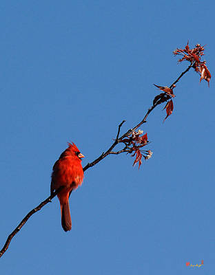 Art Print featuring the photograph Cardinal On A Cherry Branch Dsb033 by Gerry Gantt