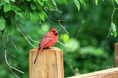 Photograph - Cardinal On A Post #2 by Richard Smith
