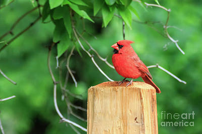 Photograph - Cardinal On A Post #3 by Richard Smith