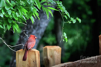 Photograph - Cardinal On A Post by Richard Smith