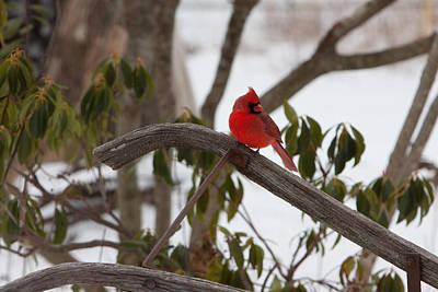 Photograph - Cardinal On A Snowy Day by Jeff Folger