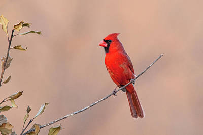 Photograph - Cardinal On A Stick by Steve Stuller