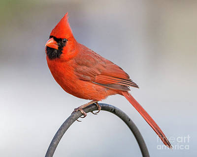 Photograph - Cardinal On A Wire by Blaine Blasdell