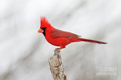 Photograph - Cardinal On Branch by Bryan Keil