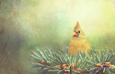 Photograph - Cardinal On Evergreen Branch by Pam  Holdsworth