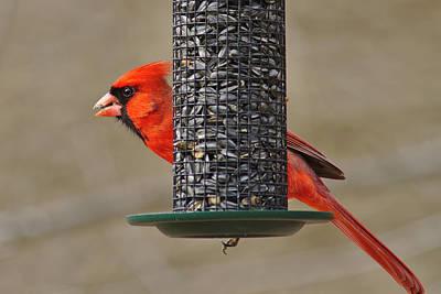 Photograph - Cardinal On Feeder by Brad Chambers
