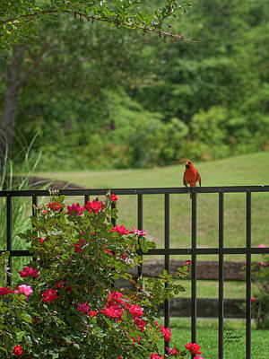 Photograph - Cardinal On Fence by Jim Ziemer