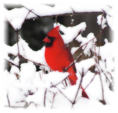 Photograph - Cardinal On Fresh Snow - Bird - Brush Strokes by MTBobbins Photography