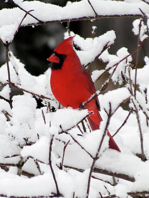 Photograph - Cardinal On Fresh Snow by MTBobbins Photography