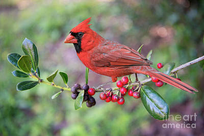 Cardinal On Holly Branch Art Print by Bonnie Barry