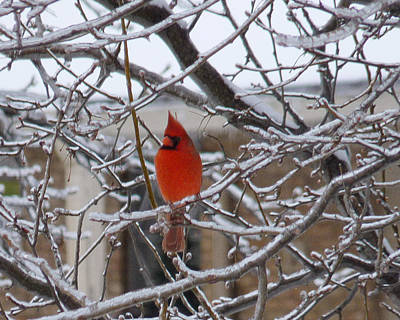 Photograph - Cardinal On Ice by Amy Jo Garner