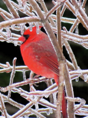 Photograph - Cardinal On Ice - Brush Strokes - Cropped by MTBobbins Photography