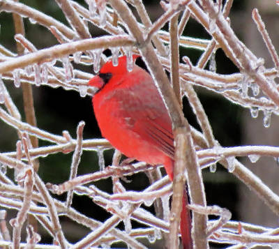 Photograph - Cardinal On Ice - Brush Strokes by MTBobbins Photography