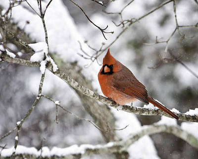 Cardinal On Snowy Branch Art Print by Rob Travis
