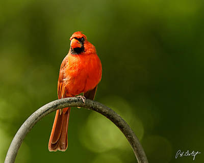 Bird Photograph - Cardinal On Watch by Phill Doherty