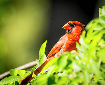 Photograph - Cardinal by Phil Rispin