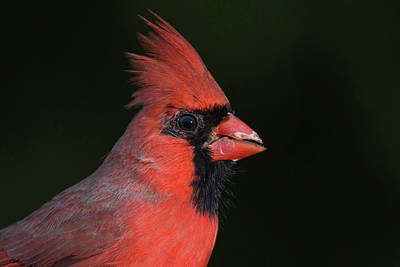 Wall Art - Photograph - Cardinal Portrait by Phil Thach