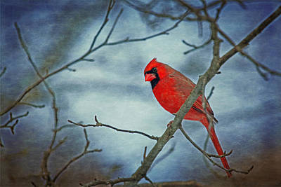 Photograph - Cardinal Pose by Karol Livote