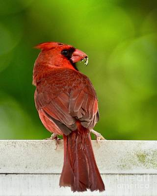 Photograph - Cardinal Red by AnnaJo Vahle