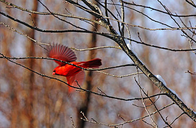 Photograph - Cardinal Red by Debbie Oppermann