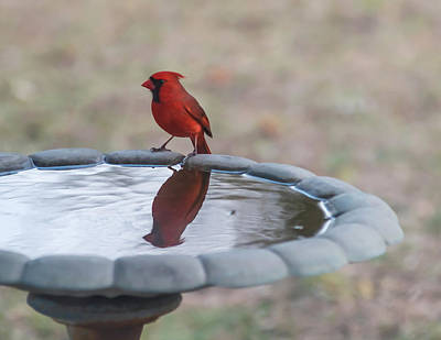 Photograph - Cardinal Reflection by Terry DeLuco