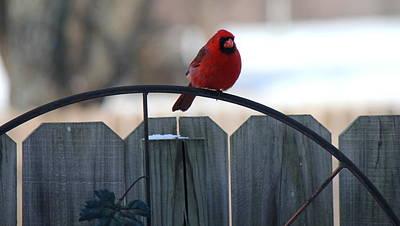Photograph - Cardinal by Sheri LaBarr