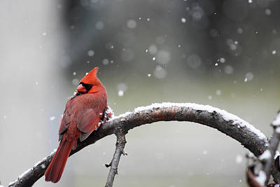 Photograph - Cardinal Snowfall by Gary Wightman