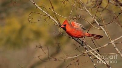 Photograph - Cardinal Takeoff by Erick Schmidt