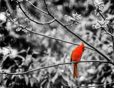 Photograph - Cardinal... by Timothy Harris