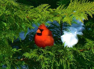 Photograph - Northern Cardinel - In Hiding by Tracy Rice Frame Of Mind