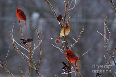 Photograph - Cardinal Trio by Mark McReynolds