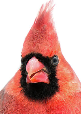Male Northern Cardinal Photograph - Cardinal Up Close by Jim Hughes