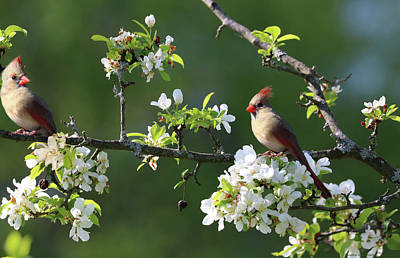 Photograph - Cardinals In Spring by Sandra Huston