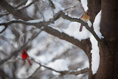 Photograph - Cardinals by Jane Melgaard