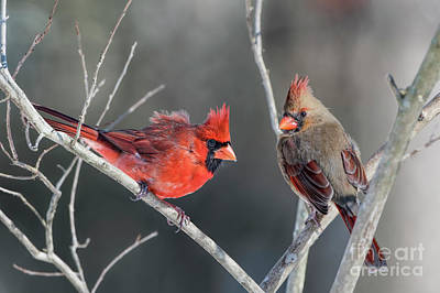 Photograph - Cardinals On A Gray Day by Bonnie Barry