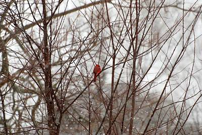 Photograph - Cardinal's Winter by Angie Tirado